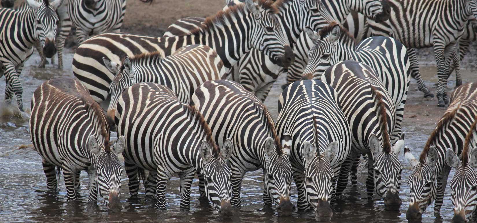 slid-zebror-tanzania